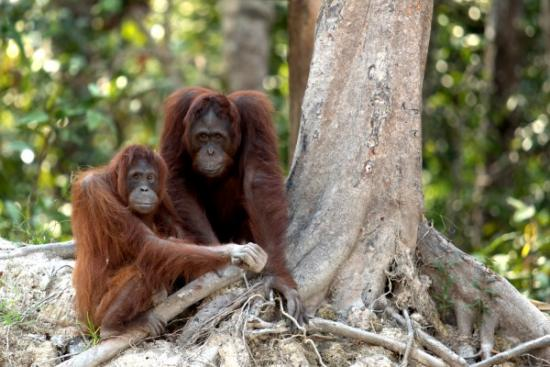 orang-utans are under threat from palm oil expansion