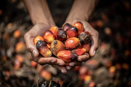 Palm oil expansion is causing destruction of the rainforest