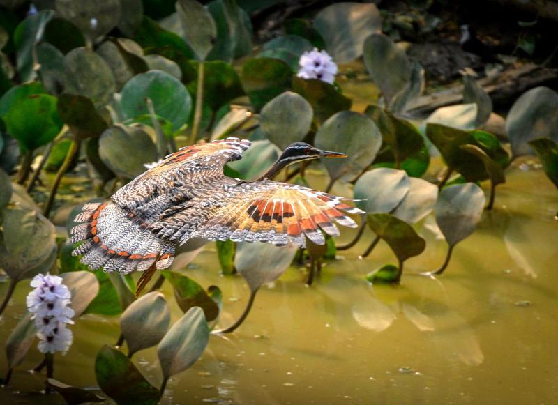 Sun bittern in Brazil's Pantanal