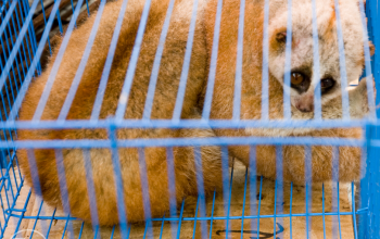 Slow loris in a cage